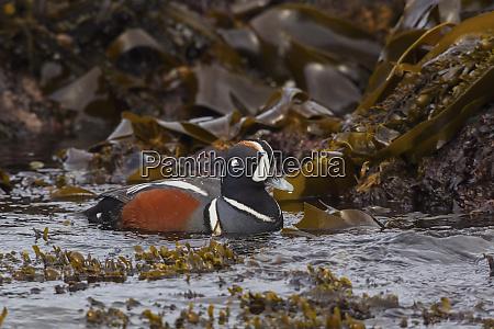 harlequin drake foraging at low tide