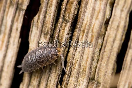 close up of pill bug armadillidium