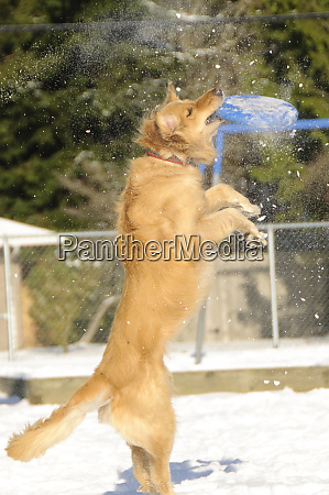 golden retriever in snow with blue
