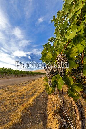 usa washington yakima valley merlot grapes