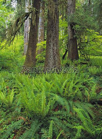 usa washington state lewis river ferns