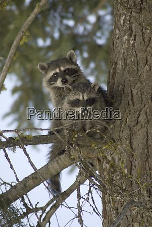 raccoons procyon lotor of fish lake