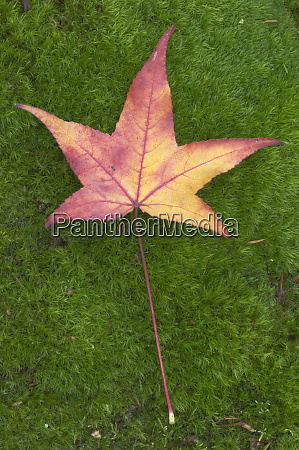 usa wa sweet gum leaf on