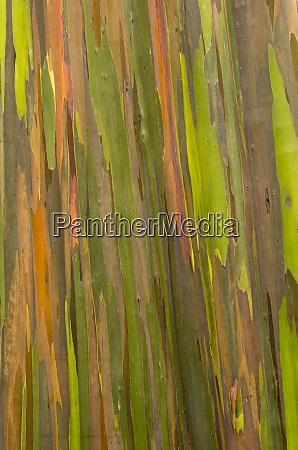 philippines multicolored bark of the eucalyptus