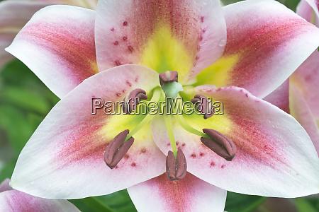 usa washington bellevue lily large format