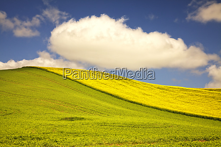 rolling hills of canola and pea