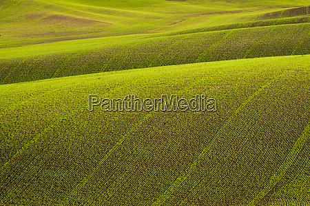 rolling hills of peas