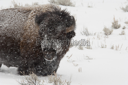 portrait of american bison in snowy