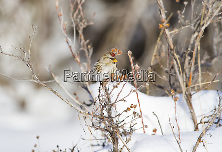 wyoming sublette county common redpoll perched
