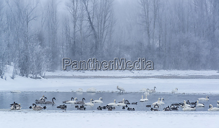 geese swans and ducks at pond