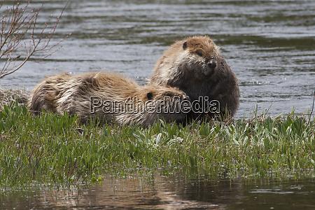 american beaver pair