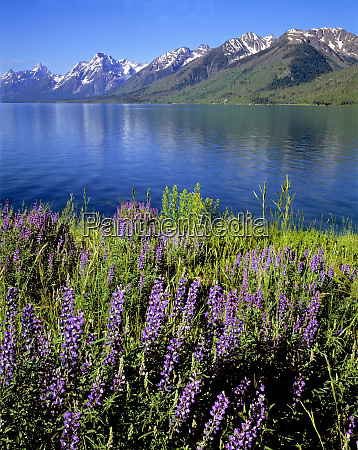 usa wyoming grand teton np purple