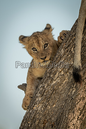 lion cub lies facing camera trunk