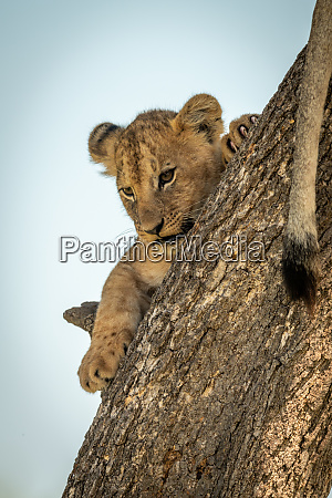 lion cub clings to trunk looking