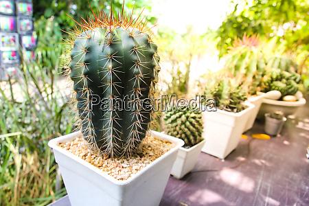 cactus decoration in the garden thailand