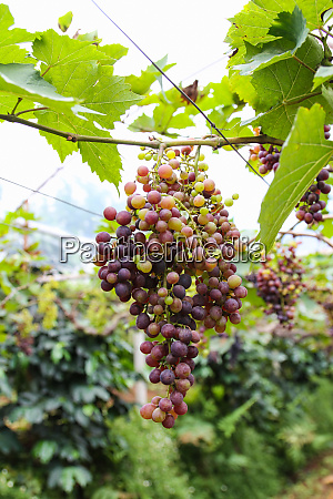 grapes on plantations in thailand