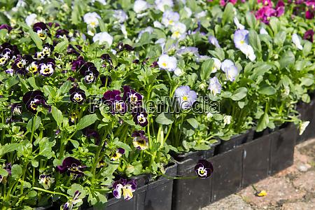 selling seedlings of flowers