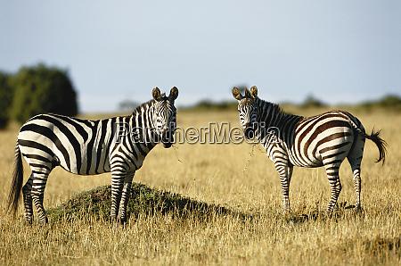 kenya portrait of zebra standing in