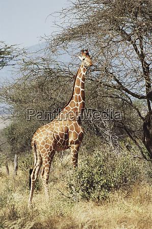 kenya samburu national reserve reticulated giraffe