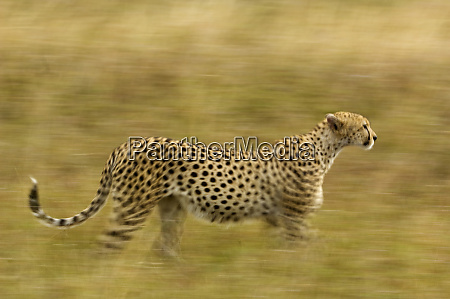 kenya masai mara motion blur of