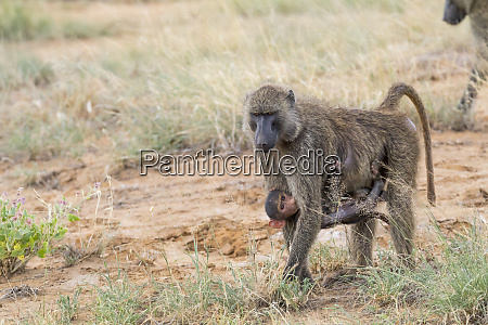 africa kenya samburu national reserve olive