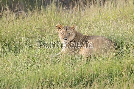 kenya masai mara national reserve african
