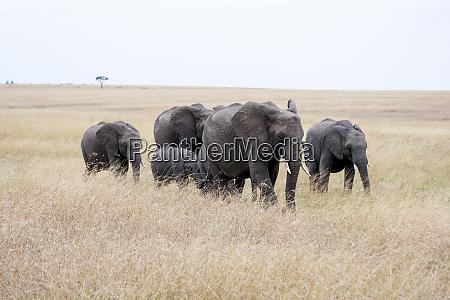 africa kenya maasai mara elephants walking