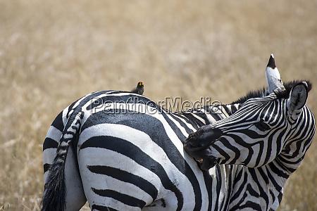 africa kenya maasai mara zebra with
