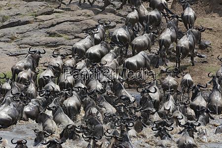 kenya africa wildebeest migrate across the