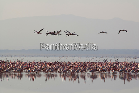 flamingoes lake nakuru kenya