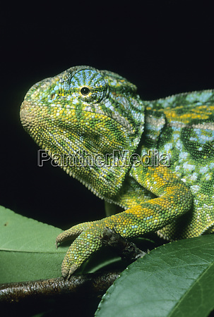 jewel chameleon furcifer lateralis central madagascar