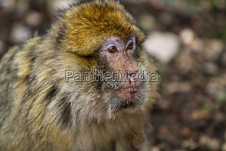atlas mountains morocco barbary macaque