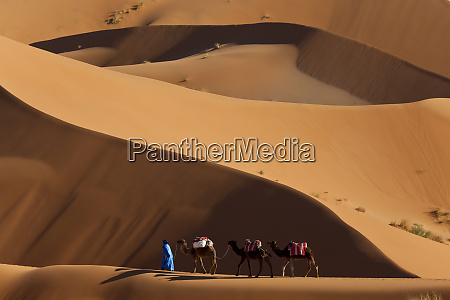 camels and dunes erg chebbi sahara