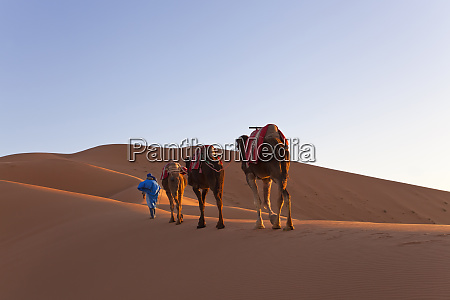 tuareg man leading camel train erg