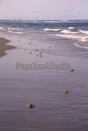 mozambique bazaruto archipelago pansy island crabs