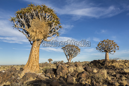 africa namibia quiver trees and boulders