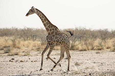africa namibia etosha national park running