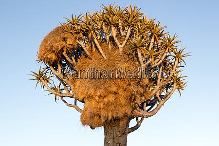 africa namibia keetmanshoop sociable weaver nest