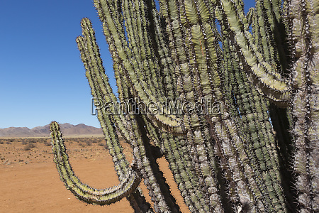 namibia giant spurge euphorbia virosa grows