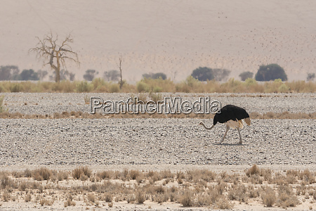 namibia an ostrich struthio camelus searches