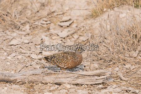 namaqua sand grouse pterocles namaqua walking