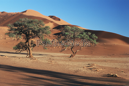 namibia acacia trees grow in sands