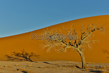 lone tree and tall sand dune