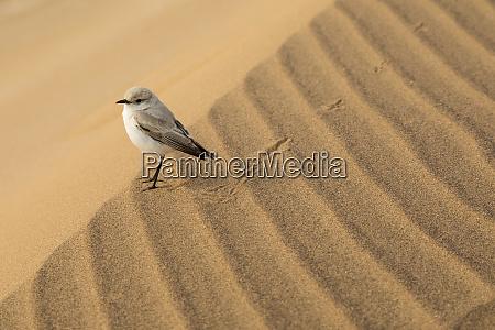 tractrac bird on sand dune namib
