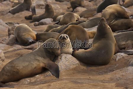 seal colony cape cross near swakopmund