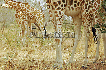 niger koure giraffe and bushes in