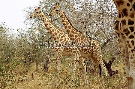 niger koure giraffes in bushes in