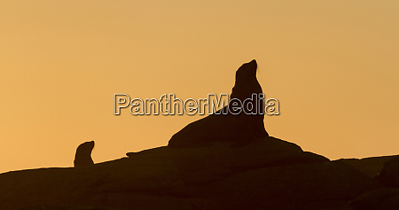 africa south africa boulderbaai seal silhouetted