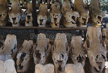skulls of poached white rhinos at