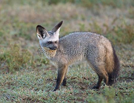 africa tanzania serengeti bat eared fox